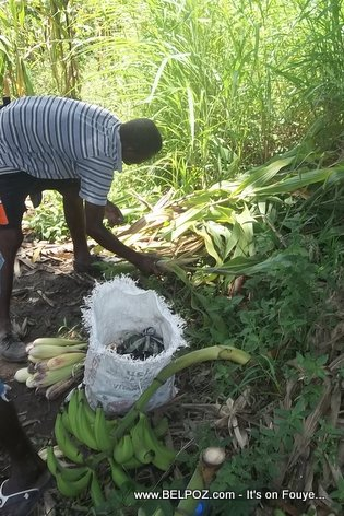 Gathering the produce from a Haitian farm to bring town