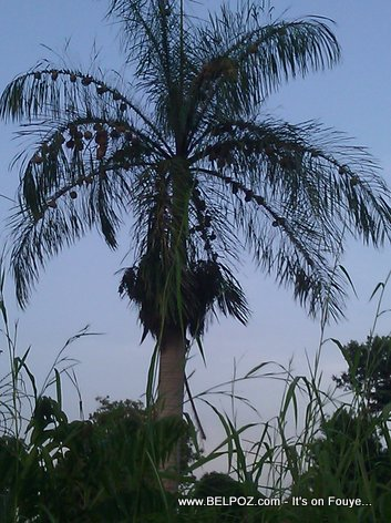 A palm tree in Haiti loaded with bird nests
