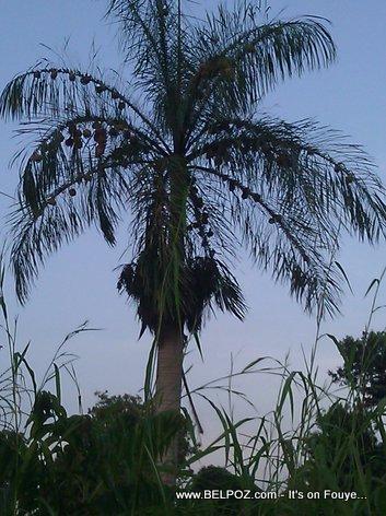 Pie Palmis Chaje ak Nish Zwazo - Andeyo Haiti