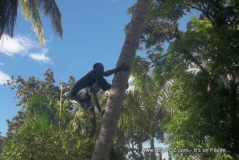 Gade yon Haitien ki ap monte yon Pye Kokoye (Haitian climbing a Coconut Tree)