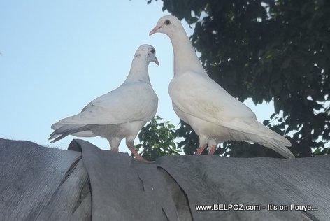 Deux Pigeons sou Kay Tache