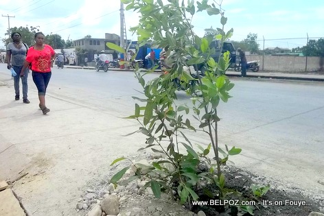 City of Gonaives Planting Trees along Route Nationale No 1