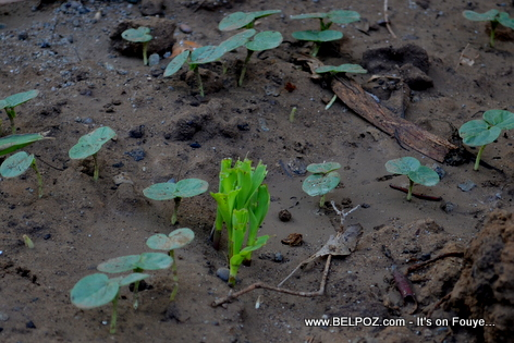 Planting Corn in Haiti