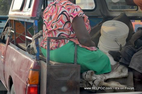 Haiti - 2 Bef nan bouda yon kamionet