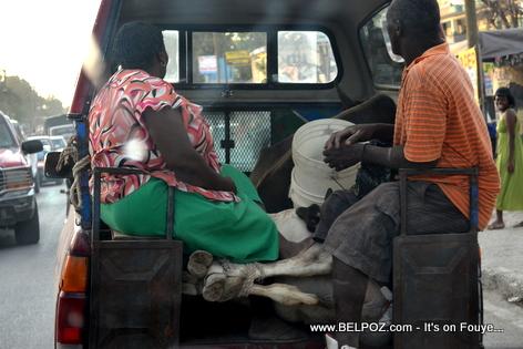 Haiti - 2 Bèf nan bouda yon camionèt