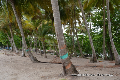Coconut trees at Gelee Beach - Les Cayes Haiti