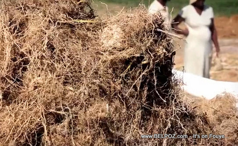 Vetiver Roots in Haiti