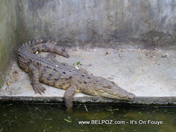 Aligator in Haiti zoo