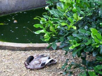 ducks in haiti zoo