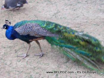indian peafowls in Haiti