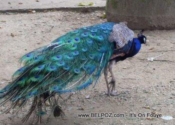 Peacock in Haiti