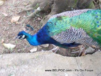 A Pheasant in Haiti