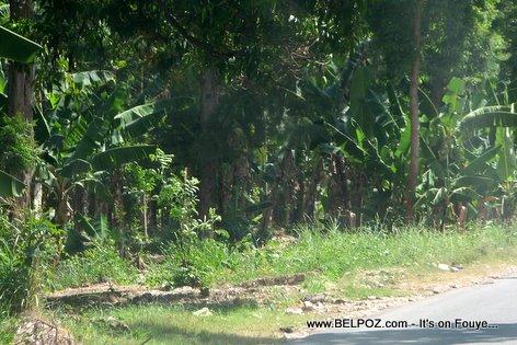 Plantain Farm Jardin Bannann Gonaives Haiti