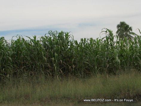 Jardin Mais Corn Field Mirebalais Haiti