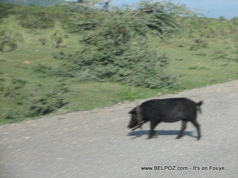 A Pig Crossing The Street Trou Du Nord Haiti