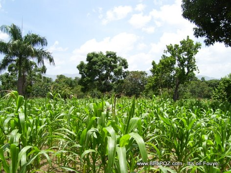 Corn Field in Haiti - The Countryside