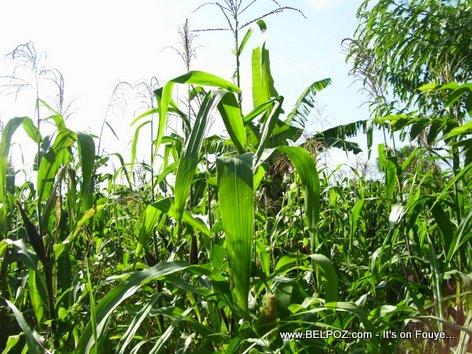 Plantation Mais Corn Field Haiti Countryside Mauric Haiti