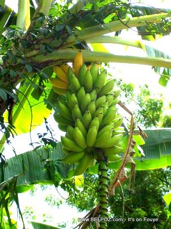 Bannann Fig Banane Figues Bananas Haiti Countryside