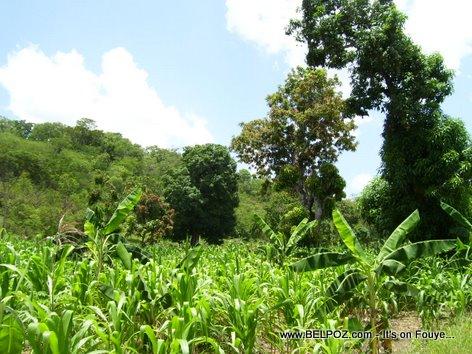 Plantation Mais Corn Field Haiti Countryside Savane Haleine Haiti