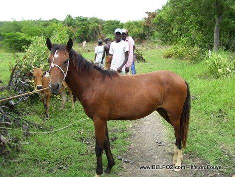 Cheval Horse Haiti Countryside Savane Haleine Haiti
