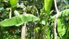 Plantation De Bananes Plantain Field Haiti Countryside Mauric Haiti