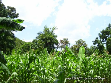 Plantation Mais Corn Field Haiti Countryside Savane Haleine Haiti