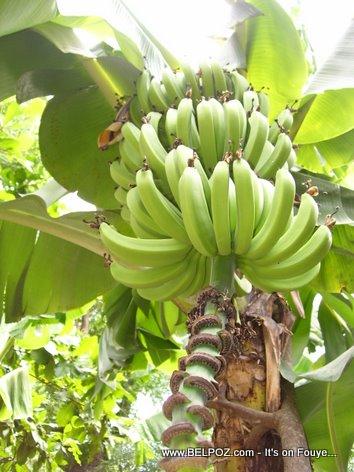 Rejim Bannann Regime De Bananes Plantains Haiti Countryside