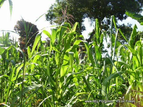 Plantation Mais Corn Field Haiti Countryside Mauric Haiti