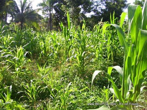 Plantation Mais - A Corn Field in Mauric Haiti