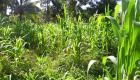 Plantation Mais - A Corn Field in Mauric Haiti